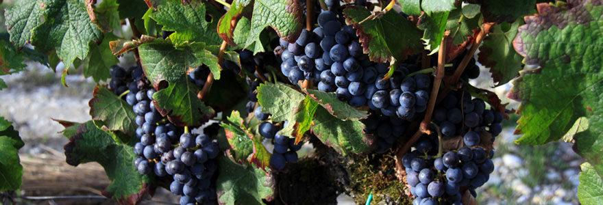 cépages de Bordeaux